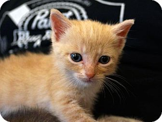 Domestic Shorthair Kitten for Sale in St. Louis, Missouri - Caesar