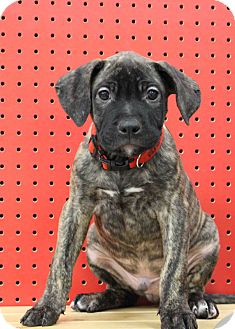 Retriever (Unknown Type)/Catahoula Leopard Dog Mix Puppy for Sale in Westminster, Colorado - Raspberry