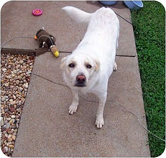 Labrador Retriever Mix Dog for adption in Clarksville, Tennessee - Lucky