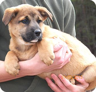 Shepherd (Unknown Type)/Labrador Retriever Mix Puppy for Sale in Sussex, New Jersey - Cinnamon