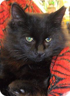 Domestic Longhair Cat for adoption in Plainwell, Michigan - Pooky