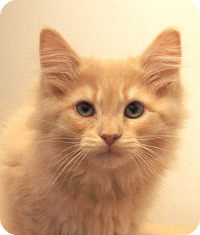 Maine Coon Kitten for Sale in Colorado Springs, Colorado - Harry