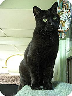 Domestic Shorthair Cat for adoption in Lombard, Illinois - Debs