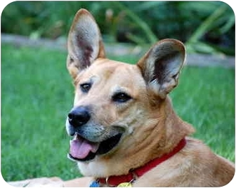 Carolina Dog/Shepherd (Unknown Type) Mix Dog for adption in Richmond, Virginia - Nikki*Foster Me