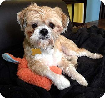 Lhasa Apso/Shih Tzu Mix Dog for Sale in Los Angeles, California - ROMEO