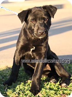 Labrador Retriever/Border Collie Mix Puppy for Sale in Garland, Texas - Tess