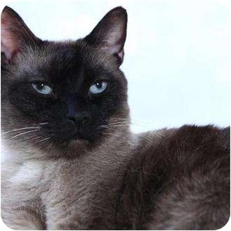 Siamese Cat for adoption in Van Nuys, California - Simon
