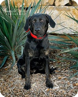 Labrador Retriever Mix Dog for Sale in Granbury, Texas - Josie