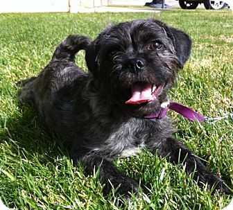 Brussels Griffon/Pug Mix Puppy for Sale in Irvine, California - Adorable JOHNNY