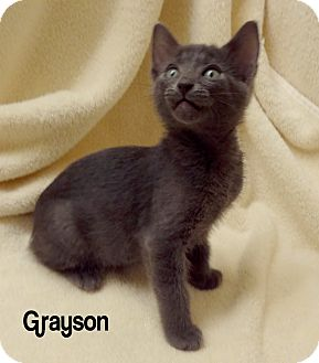 Domestic Shorthair Kitten for Sale in Bentonville, Arkansas - Grayson