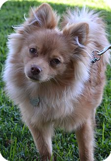 Pomeranian Mix Puppy for adption in Simi Valley, California - Beemer