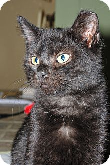 Domestic Shorthair Kitten for Sale in St. Louis, Missouri - Baxter