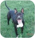 Pit Bull Terrier Mix Dog for adption in Bellflower, California - Lady