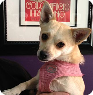 Chihuahua Mix Dog for Sale in Thousand Oaks, California - Sienna