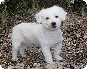 Poodle (Miniature)/Maltese Mix Dog for Sale in North Palm Beach, Florida - Buddy