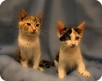 Domestic Shorthair Kitten for Sale in Richmond, Virginia - Honey Boo Boo and Chickadee