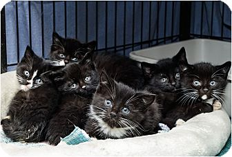 Domestic Shorthair Kitten for Sale in Salem, New Hampshire - Kittens! Kittens! Kittens!