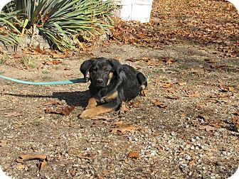 German Shepherd Dog Mix Puppy for Sale in Oakland, Arkansas - Jacqueline