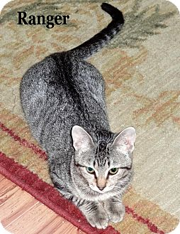 Domestic Shorthair Cat for Sale in Bentonville, Arkansas - Ranger