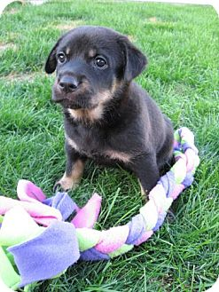 Rottweiler/Shepherd (Unknown Type) Mix Puppy for Sale in Saskatoon, Saskatchewan - Meg