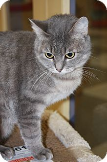 Domestic Shorthair Cat for Sale in Phoenix, Arizona - Tiffy