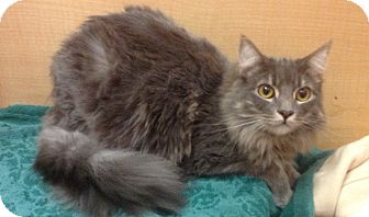 Domestic Longhair Kitten for adoption in Modesto, California - Simon