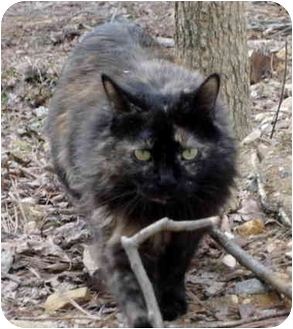 Domestic Mediumhair Cat for adoption in Pittsboro, North Carolina - Cocoa