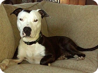 American Staffordshire Terrier/Hound (Unknown Type) Mix Dog for adption in New York, New York - Tucker