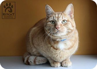 Domestic Shorthair Cat for Sale in Lancaster, Massachusetts - Pumpkin