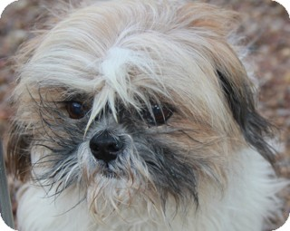 Shih Tzu Mix Dog for Sale in Norwalk, Connecticut - Morrie - adopted!