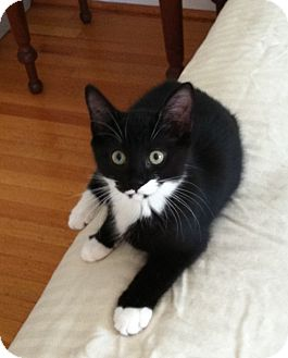 Domestic Shorthair Kitten for Sale in Jenkintown, Pennsylvania - Minnie