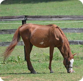 "Quarterhorse/Paint/Pinto Mix for adoption in Waleska, Georgia - Oklahoma ""Okie"""
