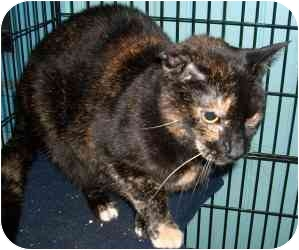 Domestic Shorthair Cat for adoption in Leonardtown, Maryland - Samantha Raven