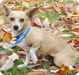 Chihuahua Mix Dog for Sale in Red Bluff, California - Meho