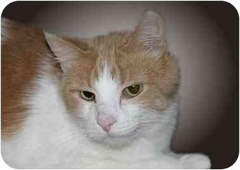 Domestic Shorthair Cat for adoption in Montgomery, Illinois - Bo