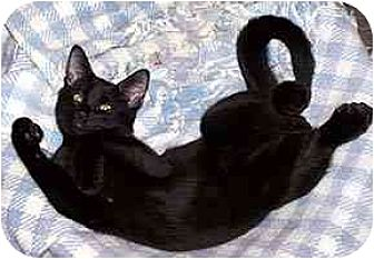 Domestic Shorthair Cat for adoption in Clovis, New Mexico - Licorice