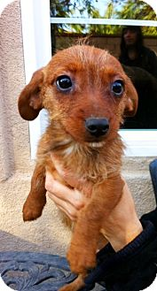 Dachshund Mix Puppy for Sale in Irvine, California - DIXIE,