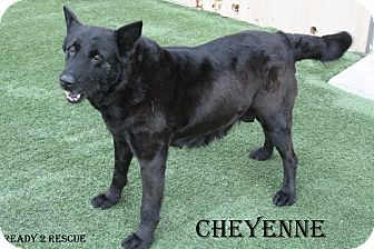 Shepherd (Unknown Type) Mix Dog for adption in Mesquite, Texas - Cheyenne