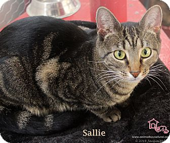 Domestic Shorthair Cat for adoption in St Louis, Missouri - Sallie