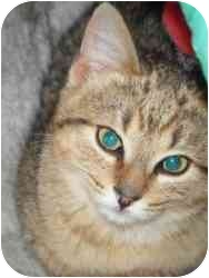 Domestic Shorthair Cat for adoption in Apex, North Carolina - Oakland