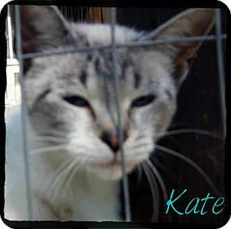 Siamese Cat for adoption in anywhere, New Hampshire - Kate