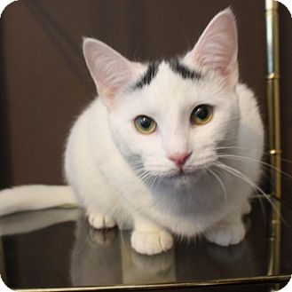 Turkish Van Kitten for Sale in Mississauga, Ontario, Ontario - Grace Slick