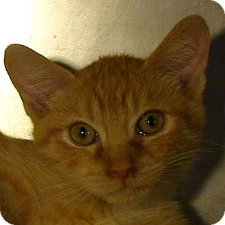 Domestic Shorthair Kitten for Sale in El Cajon, California - Dante