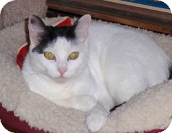 Domestic Shorthair Cat for adoption in Loudonville, New York - Vivian