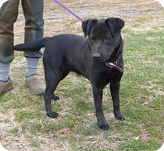 Labrador Retriever Mix Dog for Sale in Bedford, Virginia - Dixie