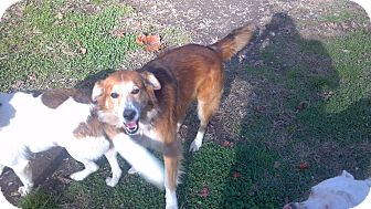 Collie Mix Dog for Sale in Hazard, Kentucky - Murphy