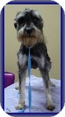 Schnauzer (Miniature) Dog for Sale in Hagerstown, Maryland - Pip