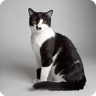 Domestic Shorthair Cat for Sale in Rockaway, New Jersey - Oreo