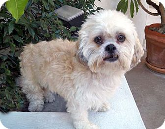 Lhasa Apso/Poodle (Miniature) Mix Dog for Sale in Los Angeles, California - SYLVIE