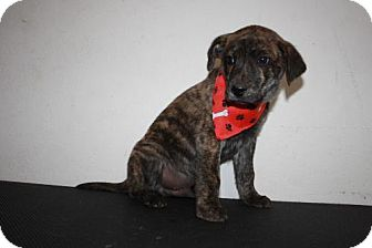 Plott Hound/Labrador Retriever Mix Puppy for Sale in Stilwell, Oklahoma - Mutt